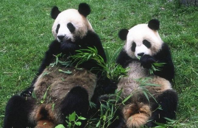 壁纸 大熊猫 动物 652_422